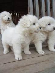 Продам щенков мареммо-абруцкой овчарки