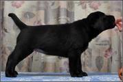 Продаются щенки лабрадора ретривера  черного окраса