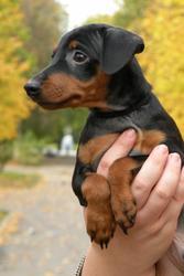 Продается щенок цвергпинчера